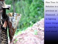 हीरे जितना कीमती होता है चीड़ वृक्ष से निकला द्रव्य