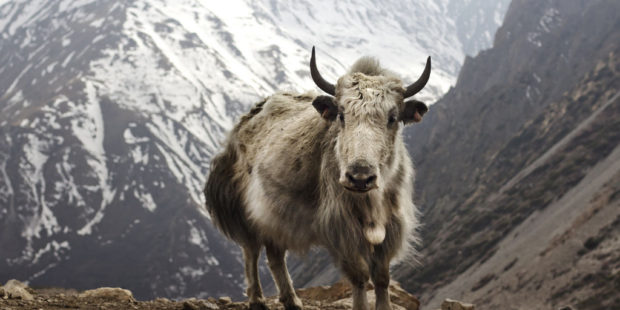 Yak in Indian Himalayas facing threat of climate change